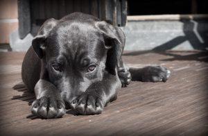 szomorú kutya