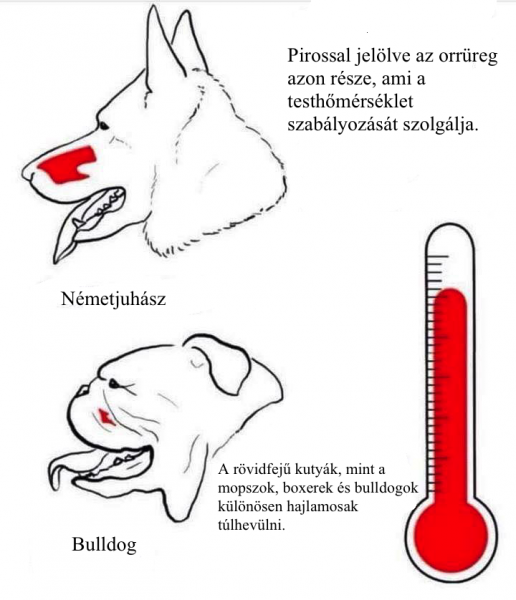 A rövidfejű kutyák, mint a mopszok, boxerek és bulldogok különösen hajlamosak túlhevülni.
