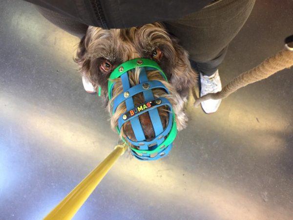 egy kutya utazik a lábak között, van rajta szájkosár