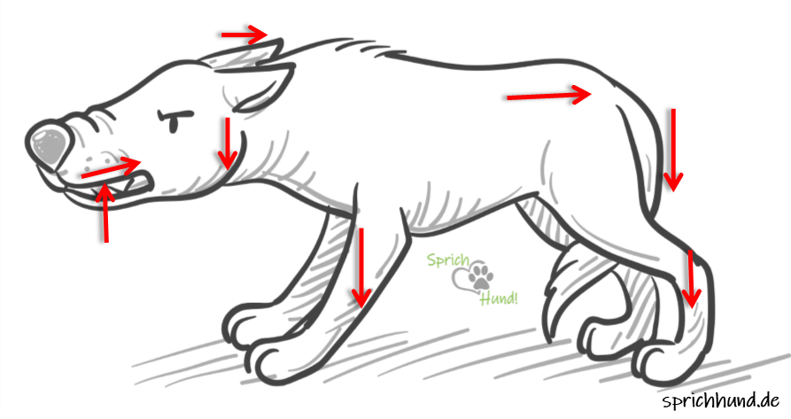 A védekező-fenyegető testtartás: láthatóak a fogak, a súlypont hátrébb és lentebb kerül, a farok, a fej és a fülek lefele mozognak - megpróbálja minél kisebbnek mutatni magát. Minél több lefelé és hátra irányuló mozdulatot látsz, annál valószínűbb, hogy a kutya inkább elmenekülni szeretne, mint támadni.